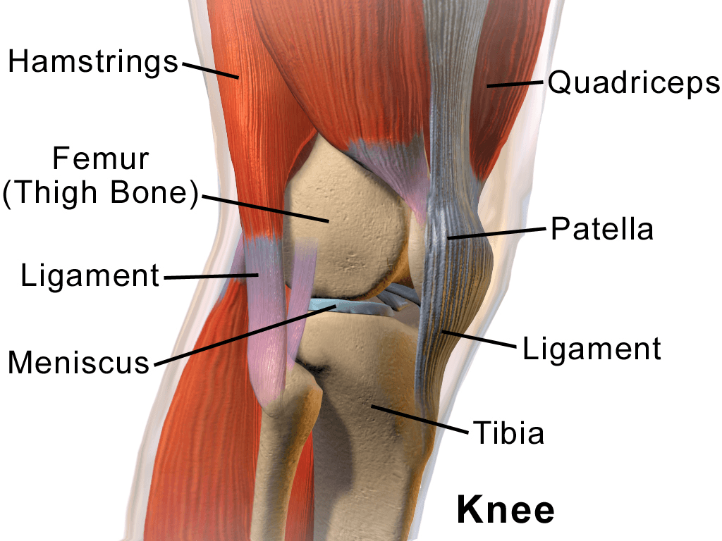 Understanding Knee Anatomy: Cartilage, Ligaments and Tendons